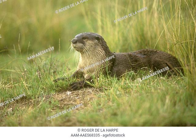 Cape Clawless Otter (Aonyx capensis), in Veld, near Senekal, Free State, RSA
