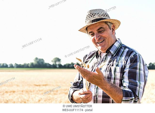 Portrait of content senior farmer in a field examining ears