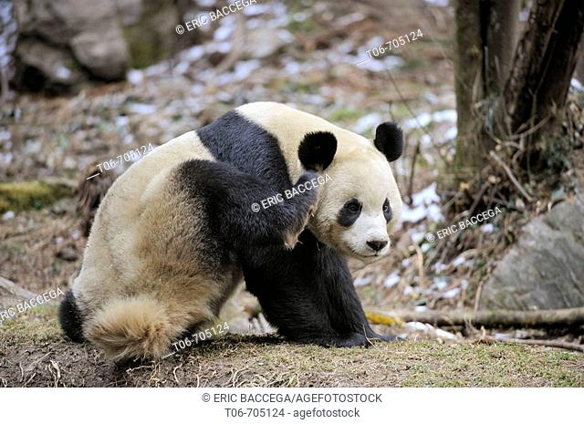Giant panda scratching (Ailuropoda melanoleuca) Wolong Nature Reserve, China