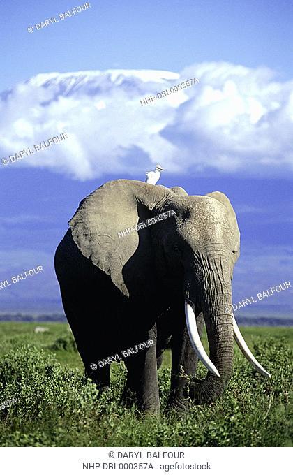 AFRICAN ELEPHANT with Cattle Egret Loxodonta africana on back Mount Kilimanjaro in rear Amboseli National Park, Kenya