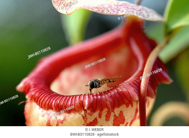 pitcher plant (Nepenthes spec.), upper part of the trap with cap and fly