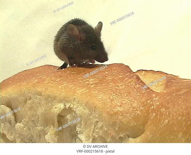 Medium shot of a mouse walking on a loaf of bread