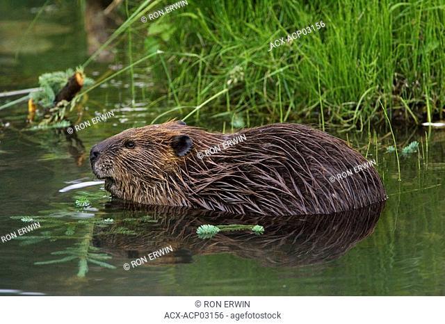 Beaver Castor canadensis along the Alaska Highway near the Testa River in northwestern British Columbia, Canada