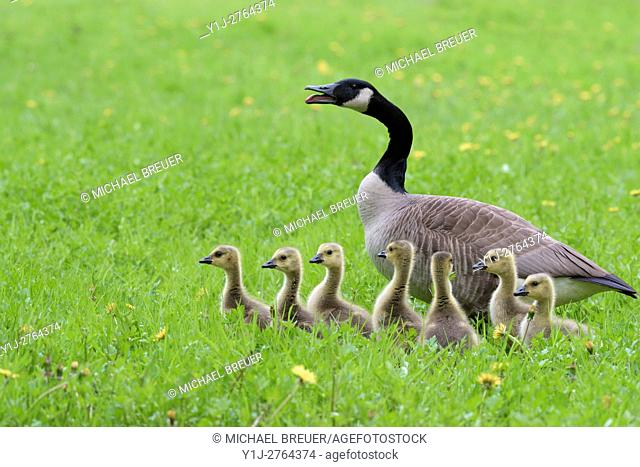 Canada Goose with Goslings (Branta canadensis), Hesse, Germany, Europe