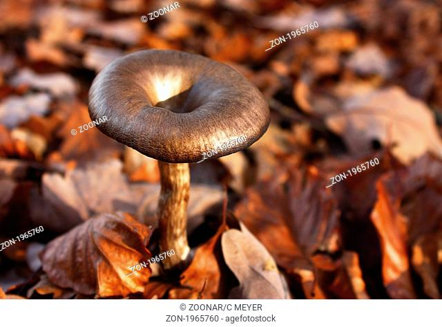 Close-up of a brown Kremp form into an autumn forest in the Taunus in Hessen
