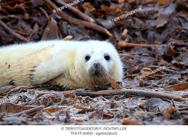 young grey seal