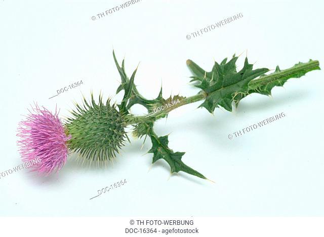 Cotton thistle - scotch thistle - medicinal plant - herb - Onopordum acanthium - onopordon - Onopordo tomentoso -
