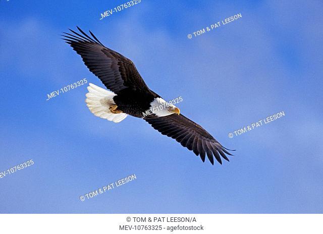 Bald Eagle - In flight (Haliaeetus leucocephalus)