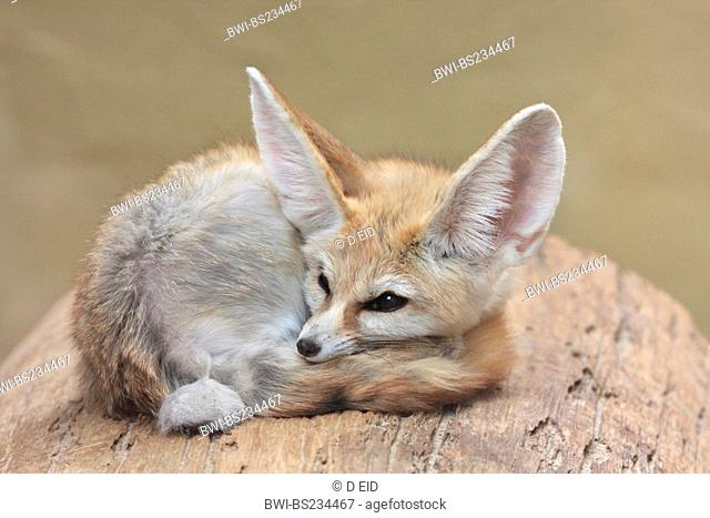 fennec fox Fennecus zerda, Vulpes zerda, sleeping