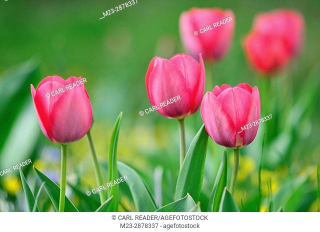 A group of tulips in soft focus in springtime, Pennsylvania, USA