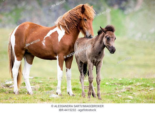 Icelandic mare grooming foal, Kühtai, Tyrol, Austria