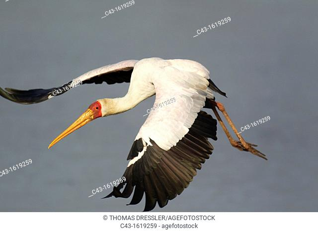 Yellow-billed Stork Mycteria ibis - Flying  Sunset Dam, Kruger National Park, South Africa