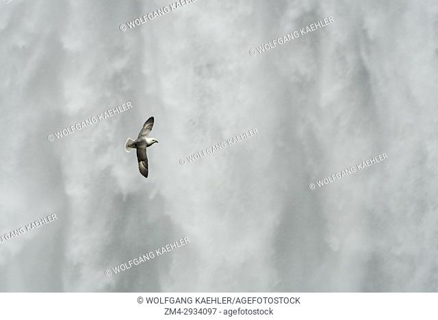 A Northern fulmar (Fulmarus glacialis) flying in front of the Skogafoss is one of the biggest waterfalls in southern Iceland with a width of 15 meters (49 feet)...