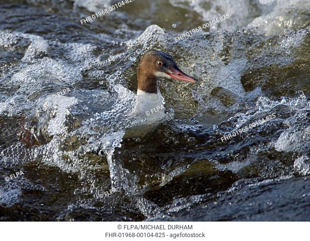 Goosander (Mergus merganser) adult female, swimming in fast-flowing river, River Nith, Dumfries and Galloway, Scotland, November