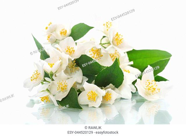 blossoming jasmine flowers on a white background