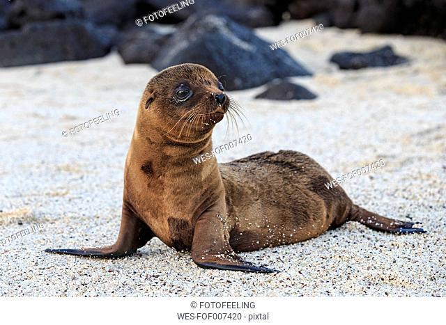 Ecuador, Galapagos Islands, Santa Fe, young brown sea lion lying on sandy beach