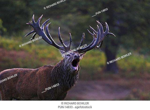 Red Deer stag cervus elaphus roaring during the rutting season, Bedforshire, England