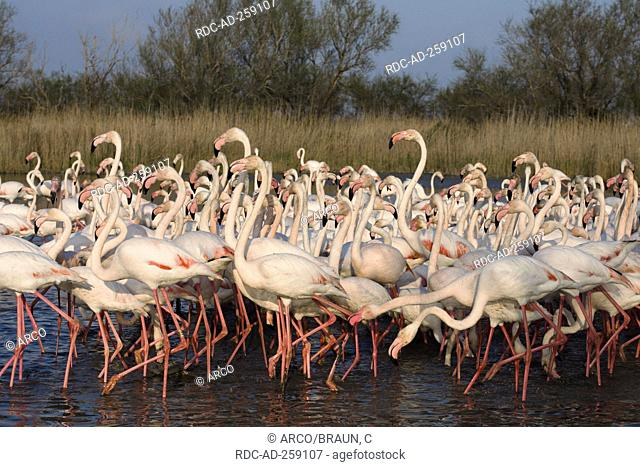 Greater Flamingoes Camargue Southern France Phoenicopterus ruber roseus