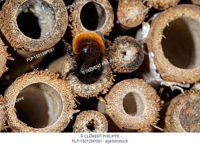 Mason bee / builder bee Osmia cornuta - laden with pollen and nectar - entering nest in hollow stem at insect hotel for solitary bees