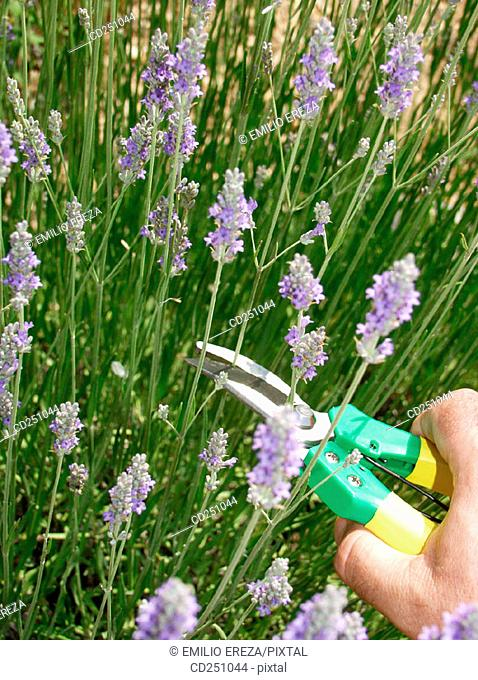 Cutting Lavender (Lavandula officinalis)