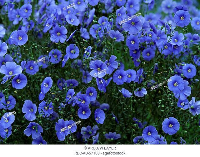 Perennial Flax Linum perenne Blue Flax