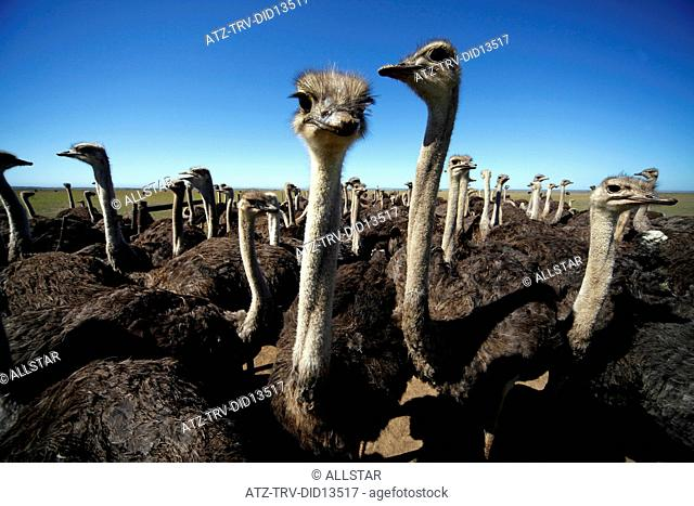 OSTRICH HEADS; HUMANSDORP, EASTERN CAPE, SOUTH AFRICA; 26/01/2011