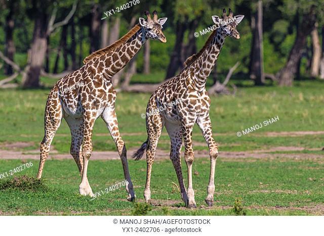 Giraffes - young giraffes walking - Masai Mara National Reserve, Kenya