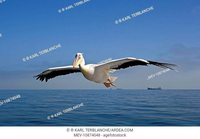 Great White Pelican - In flight over the Atlantic - Commercial ships on the horizon (Pelecanus onocrotalus). Atlantic Ocean - Walvis Bay - West Coast - Namibia...