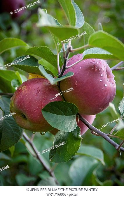 A Close Up of Apples on an Apple Tree