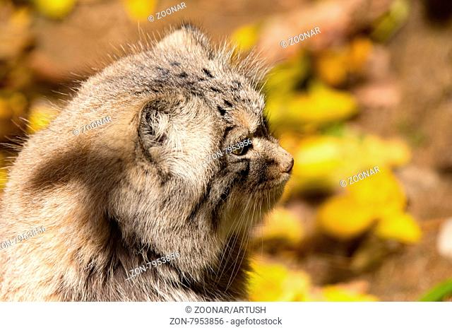 portrait of beautiful cat, Pallas's cat, Otocolobus manul resting in its habitat, looking for prey
