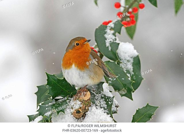 European Robin Erithacus rubecula adult, perched on snow covered European Holly Ilex aquifolium with berries, Washington, West Sussex, England, december