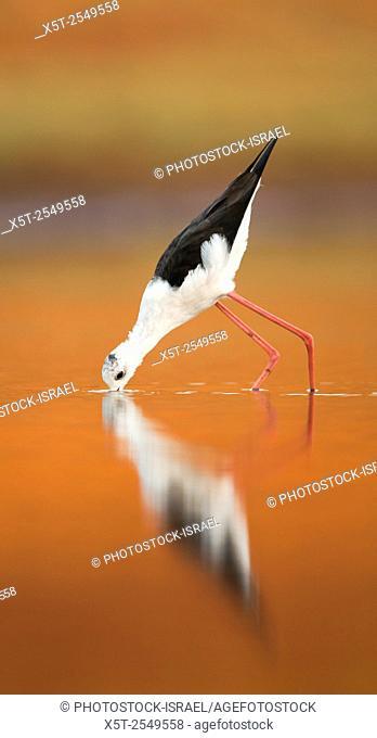 male Black-winged Stilt (Himantopus himantopus) wading in water Photographed in Israel in September
