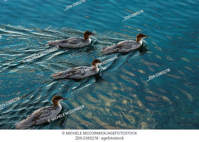 Ducks swim across the serene waters of Lake Tahoe