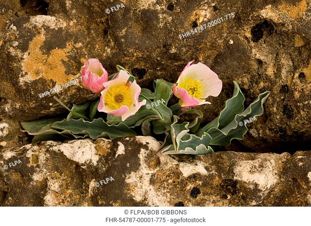 Calandrin Buttercup Ranunculus calandrinioides flowering, in limestone crevice, Middle Atlas Mountains, Morocco