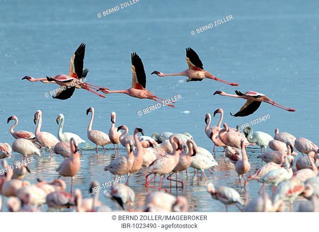 Group of Lesser Flamingos (Phoeniconaias minor) flying, Lake Nakuru, national park, Kenya, East Africa