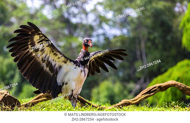 King Vulture, Sarcoramphus papa flapping his wings at Laguna del Lagarto, Boca Tapada, San Carlos, Costa Rica,