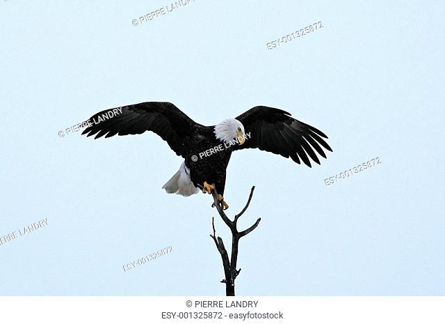 Arriving Bald Eagle