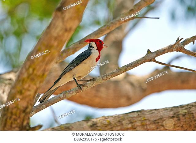 South America, Brazil, Mato Grosso, Pantanal area, Red-crested Cardinal Paroaria coronata