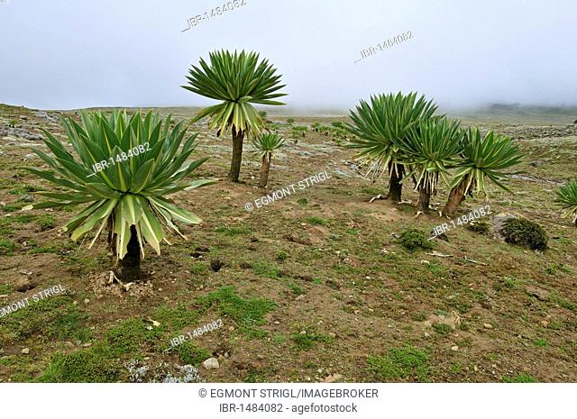 Oromo Stock Photos and Images | age fotostock