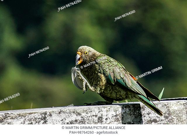 Kea (Nestor notabilis) playing with feather in bill, Arthur's Pass National Park, New Zealand | usage worldwide. - /New Zealand