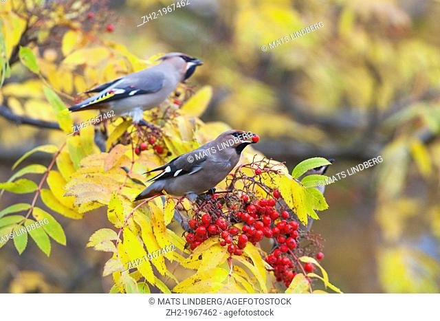 Waxwing, Bombycilla garrulus, sitting in a rowantree in autumn season and eating rowanberries and have one in his beak, Gällivare, Swedish lapland