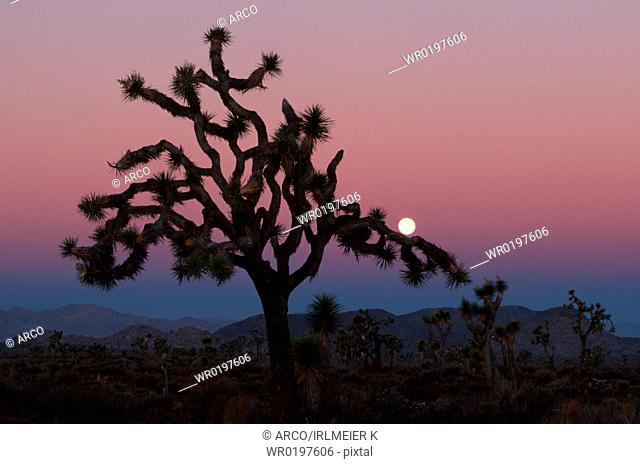 Joshua, Tree, at, sunrise, Joshua, Tree, national, monument, California, USA,Yucca, brevifolia