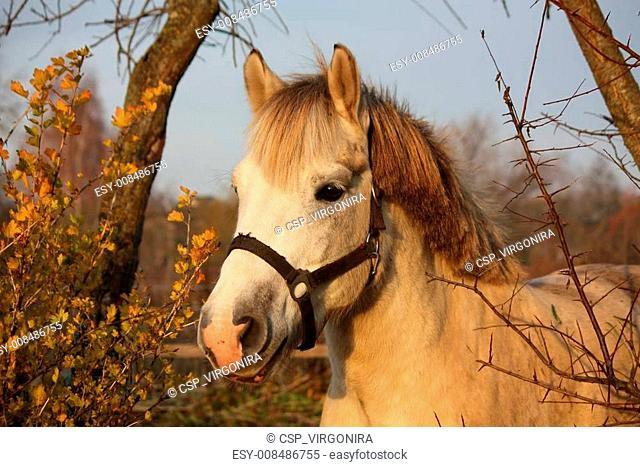 Cute gray pony portrait in the paddock
