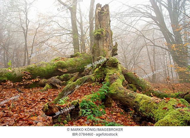 Old Common Beech or European Beech (Fagus sylvatica), ancient forest of Sababurg, Hofgeismar, North Hesse, Hesse, Germany