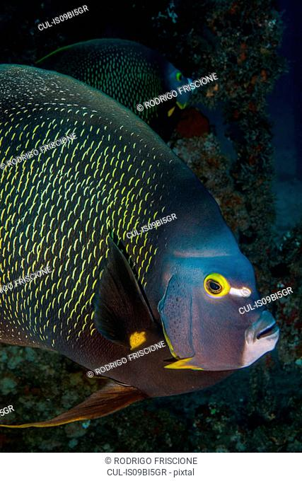 Portrait of French angelfish, Isla Mujeres, Quintana Roo, Mexico