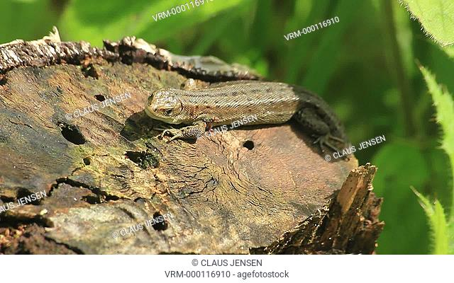 Common lizard Zootoca vivipara resting on tree stump. The common lizard gives birth to live young and lives further north than any other reptile species