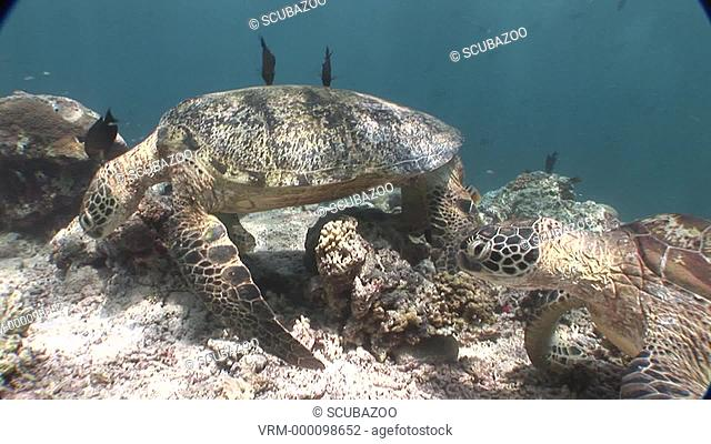Two Green Sea turtles Chelonia mydas resting on bottom at cleaning station. Sipadan, Borneo, Malaysia