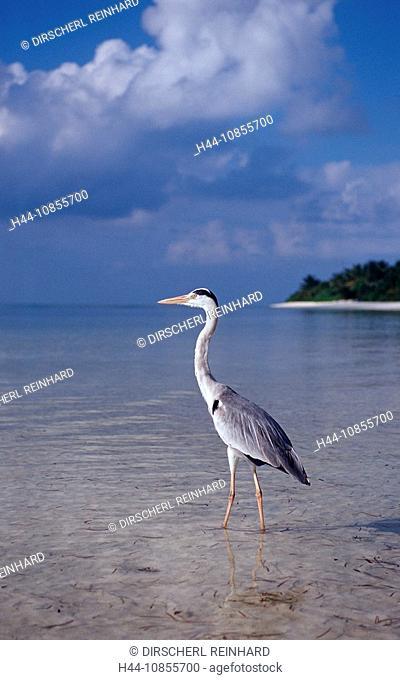 10855700, Maldives, Indian Ocean, Meemu Atoll, her