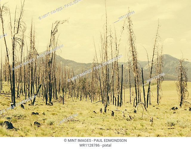 Fire damaged trees and forest in Payette National Forest in Valley County, Indiana