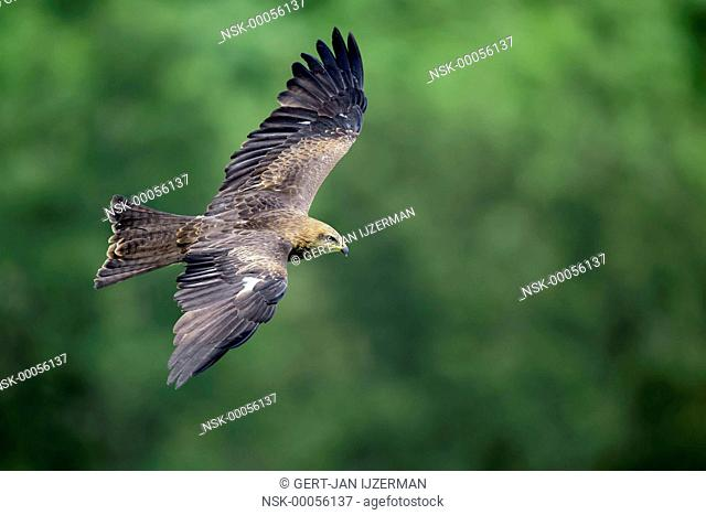 Black Kite (Milvus migrans) in flight against some trees, Germany, Eifel